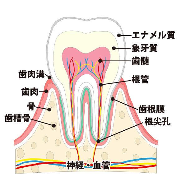 歯の神経を残すのはなぜ大切か?